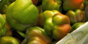 Polyhouse harvested bell peppers in Manoli Village, Sonipat District in Haryana, India