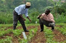 Two men checking for bean pests and diseases in Kawanda, Uganda.